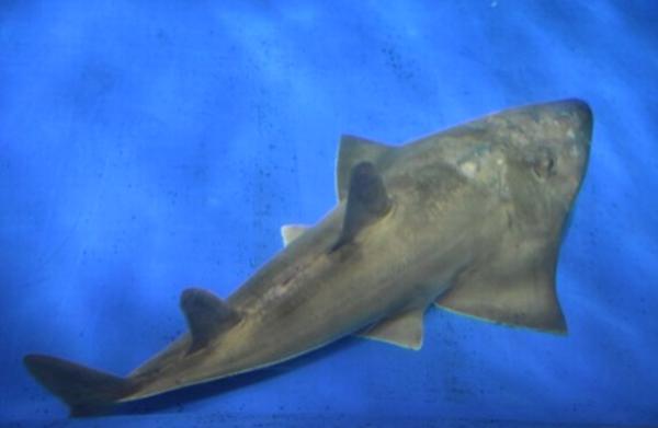 モノノケ トンガリ サカタザメ